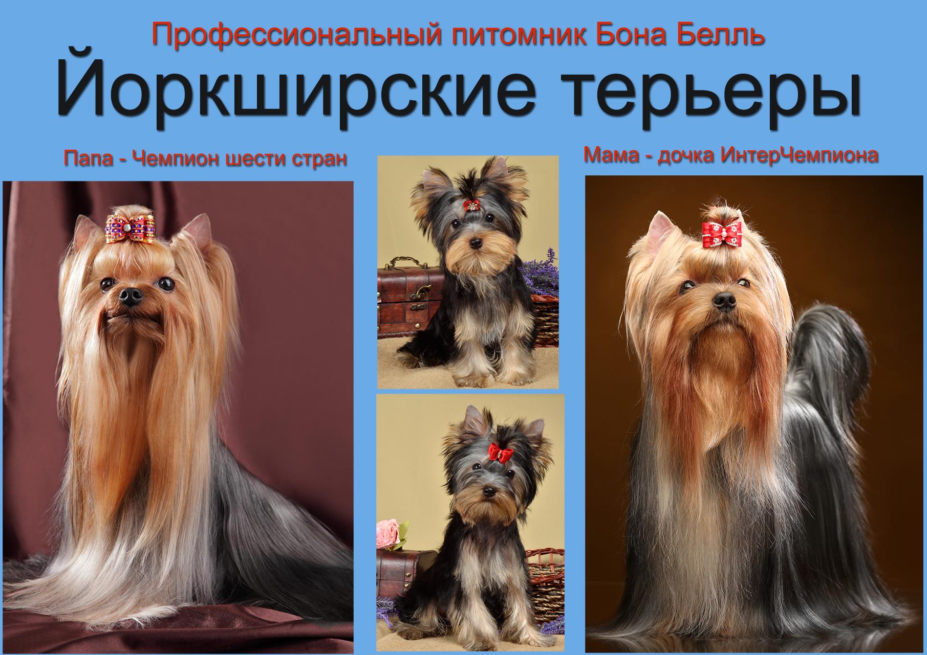 русская салонная собака купить
