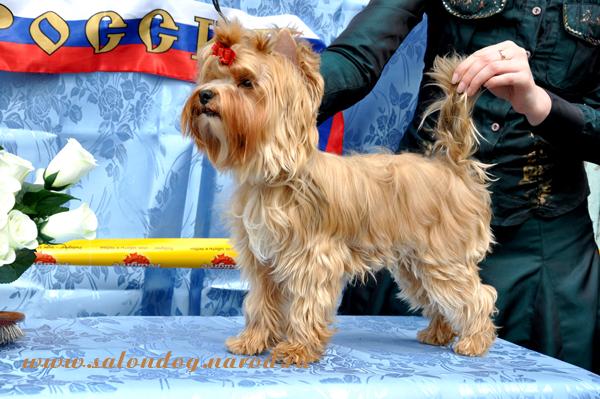 Русская салонная собака продаются